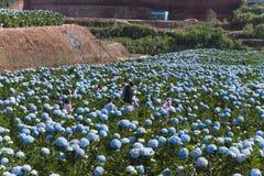 LAT du DA, VIETNAM, le 8 novembre 2018 : Le champ des fleurs d'hortensias, ces belles fleurs sont développés au Lat du DA de terr image stock