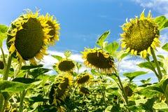Lat eftermiddag - Droopy solrosor royaltyfri fotografi