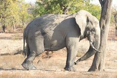 lat elefant Arkivfoton