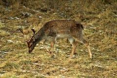 Lat européen de cerfs communs affrichés Dama de Dama alimentant en clairière de forêt et observant l'environnement pendant la sai photo stock