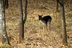 Lat europeo de los ciervos en barbecho Dama del Dama que alimenta en un claro del bosque y que observa el ambiente durante la est foto de archivo