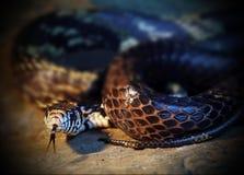 Lat europeu do adicionador do close up Vipera Berus Serpente peçonhento aggression Natureza selvagem fotos de stock royalty free