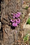 Lat för europeiskt cercis- eller judasträd Cercissiliquastrum royaltyfria foton