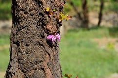 Lat för europeiskt cercis- eller judasträd Cercissiliquastrum royaltyfri fotografi
