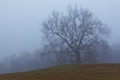 Late fall shot of an old growth sycamore tree in Connecticut on a foggy morning. With desaturated colors royalty free stock image
