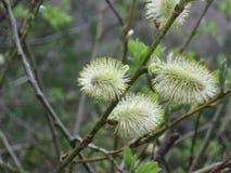 Lat fleurissant de saules Salix Première source photos stock