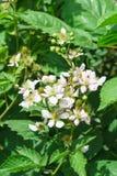Lat floreciente enorme de Blackberry de la rama Rubus en el jardín Fotos de archivo libres de regalías