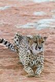 Lat gepard (Gepard) Royaltyfri Fotografi