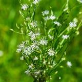 Lat Gramineae Stellaria Graminea l Stellaria Дикие растения  Стоковая Фотография RF