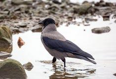 Lat grigio del corvo Cornix di corvo Fotografia Stock Libera da Diritti