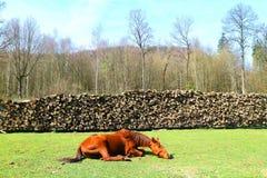 Lat häst på gräset Arkivfoto