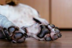 Lat hund som sover på golvet Royaltyfri Foto
