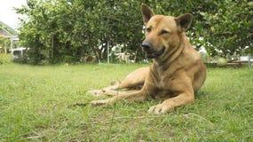 Lat hundhusdjursömn lägger hörntanden sitter ner begrepp Arkivbild