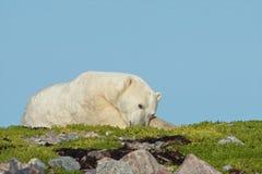 Lat isbjörn på gräset fotografering för bildbyråer