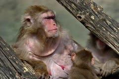 Lat japonais de macaques Fuscata de Macaca C'est les esp?ces les plus du nord des primats, et l'?le de Yakushima image libre de droits