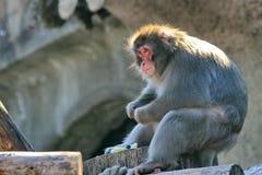 Lat japonais de macaques Fuscata de Macaca C'est les esp?ces les plus du nord des primats, et l'?le de Yakushima photographie stock libre de droits