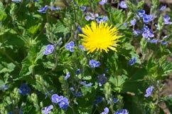 Lat jaune de pissenlit Fleurs de chamaedrys de Taraxacum et de Veronica photo stock