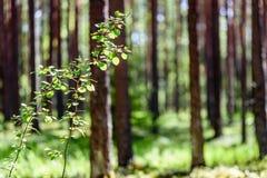 Lat lasowi drzewa Natury światła słonecznego zieleni drewniani tła Fotografia Royalty Free