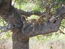 lat leopard Royaltyfri Fotografi