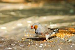 Lat masculin de pinsons de zèbre Le guttata de Taeniopygia est un oiseau de la famille des weaverbirds de pinsons - manger du mil photographie stock