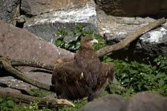 Черный хищник или коричневый Lat шеи Monachus Aegypius В поисках еды, огромные расстояния покрыты ежедневно стоковые изображения