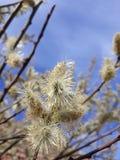 lat O caprea do Salix os povos é chamado amentilhos das borlas imagens de stock royalty free