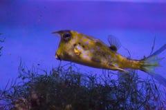 Lat ordinario de cuernos de la carrocería Cornuta uno de Lactoria de los pescados más entretenidos que viven en las aguas calient fotos de archivo libres de regalías