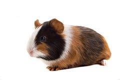 lat pig för guinea Arkivbilder