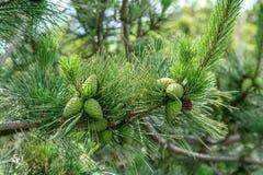 Lat pinecones w Blokowej wyspie fotografia stock