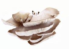 lat pleurotus στρειδιών ostreatus μανιταριών Στοκ Φωτογραφία