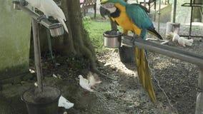 Lat Rojo-azul-verde colorido del loro del Macaw del escarlata Ara en el vídeo de la cantidad de la acción del canal almacen de video