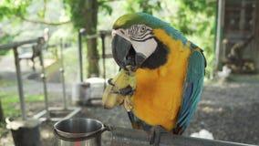 Lat Rojo-azul-verde colorido del loro del Macaw del escarlata El Ara come el vídeo común de la cantidad del plátano metrajes