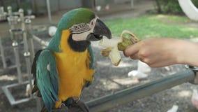 Lat Rojo-azul-verde colorido del loro del Macaw del escarlata El Ara come el vídeo común de la cantidad del plátano almacen de metraje de vídeo
