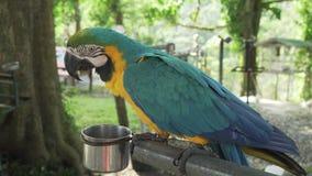 Lat Rojo-azul-verde colorido del loro del Macaw del escarlata El Ara come del vídeo de la cantidad de la acción del canal almacen de video