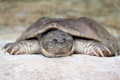 lat sköldpadda Arkivfoto