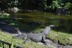 Lat stor alligator Arkivbilder