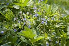 Lat wildflowers Veronica Asherah Obrazy Stock