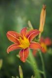 Lat Wildflowers ZVEREVA Zdjęcia Stock