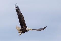 Latać Eagle Fotografia Stock