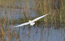 latać egret świetnie Obrazy Stock
