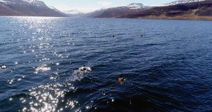 Latać nad edredon kaczkami w pięknym fjord w Iceland zbiory