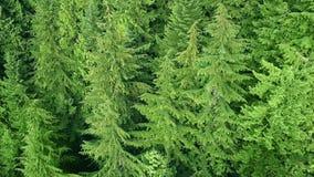 Latać nad sosnowym lasem zbiory