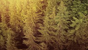 Latać Nad Sosnowym lasem Przy zmierzchem zdjęcie wideo