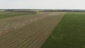 Latać strona i nad niekończący się złoty pole bele skoszony siano Zadziwiający prosty mieszkanie zbiera i zbiory wideo