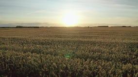 Latać z powrotem nad złotych ucho dojrzałą pszeniczną szeroką śródpolną ziemią uprawną przy zmierzch anteną zdjęcie wideo