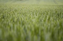 lata 2 pola pszenicy zdjęcie stock