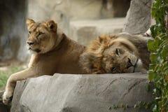 Lata afrikanska lejon Fotografering för Bildbyråer