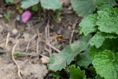 Lata bombyliidae nad ziemia w trawie Zdjęcia Stock