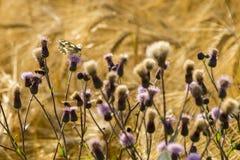 Lata brzęczenie na Śródpolnych Wildflowers zdjęcia stock