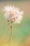 Lata dandelion Fotografia Royalty Free